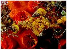 caracol de mar