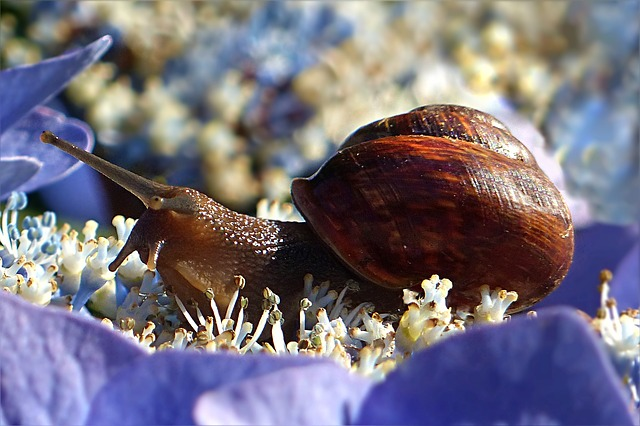Ciclo de vida de los caracoles » CARACOLPEDIA