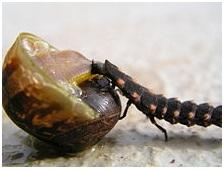 Depredadores y peligros de los caracoles caracolpedia for Caracol de jardin de que se alimenta